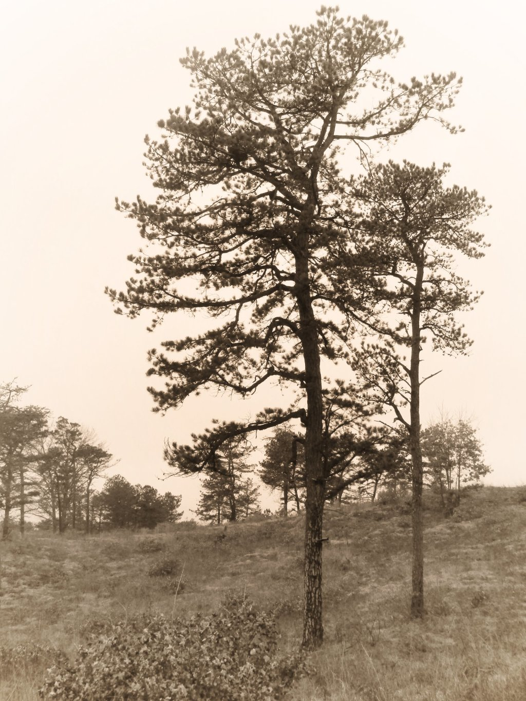 Photo: Even On A Gray Day The Pine Bush Is Nice