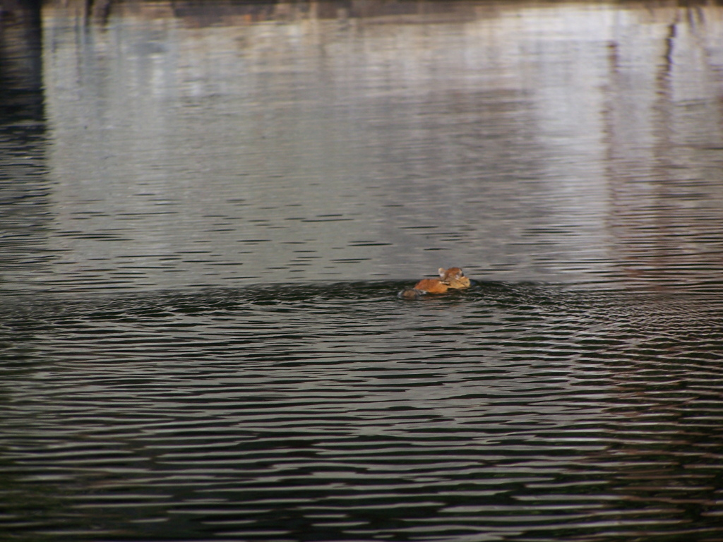 Photo: Chimpmunk Swims