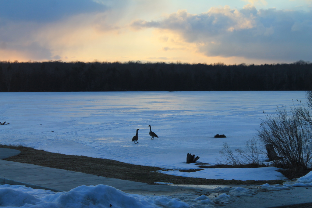 Photo: Canadian Geese at Sunset