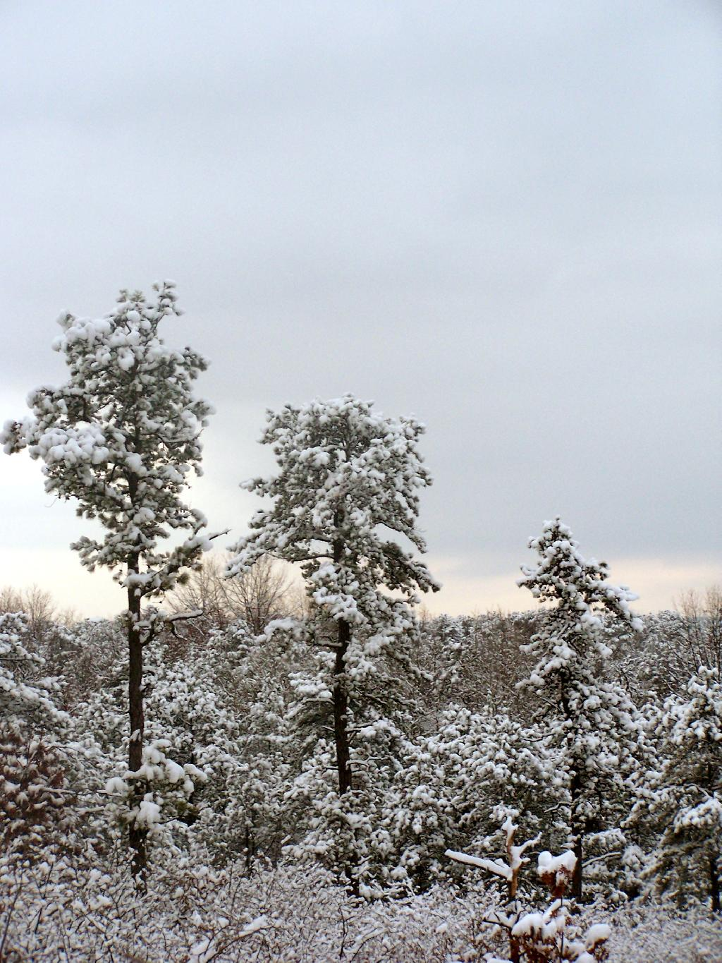 Photo: Pitch Pine with Snow