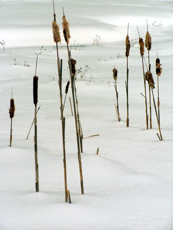Photo: Cat Tails