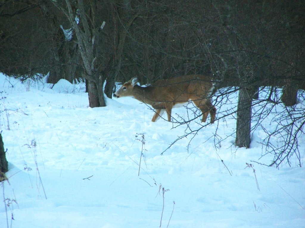 Photo: Deer in Apple Orchard