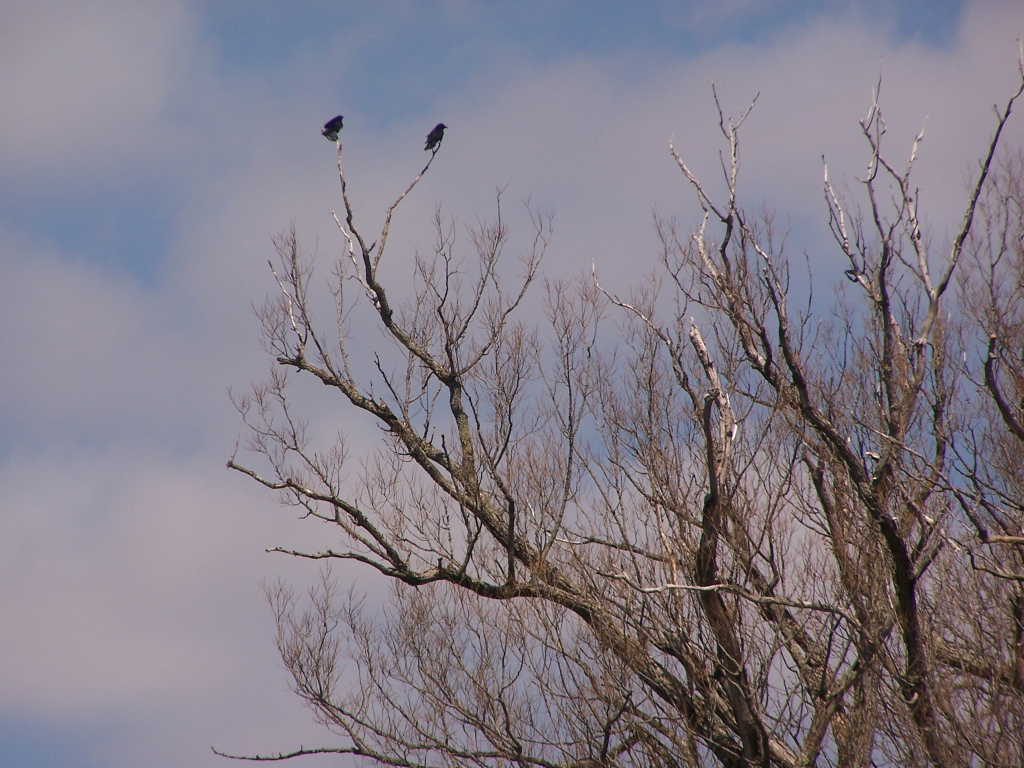 Photo: Crows Looking Down at Pond