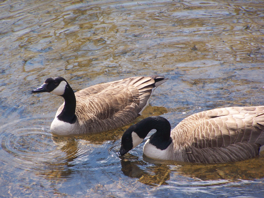 Photo: Geese Drinking Water