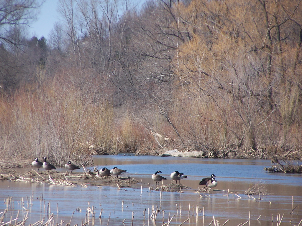 Photo: Geese in Chenango River