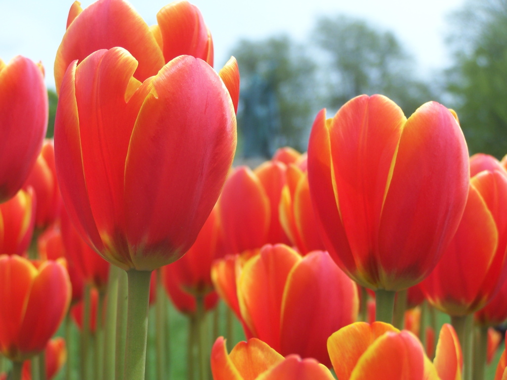Photo: Red and Yellow Tulips