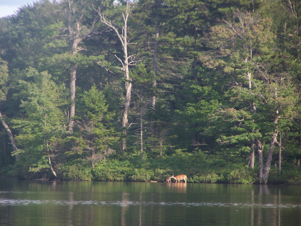 Photo: Doe and Fawn on Lake