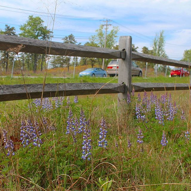 Photo: Roadside Lupine