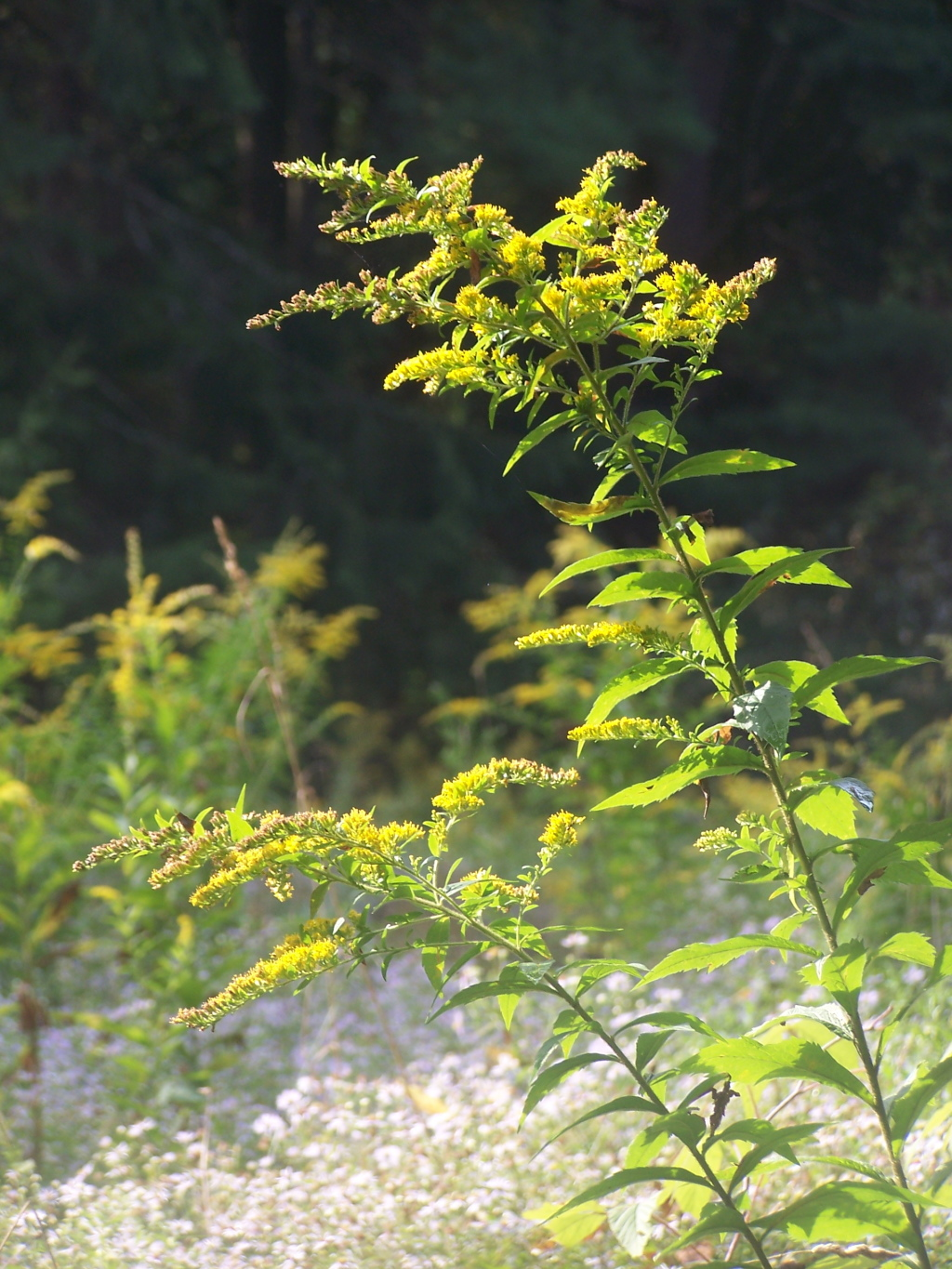 Photo: Golden Rod