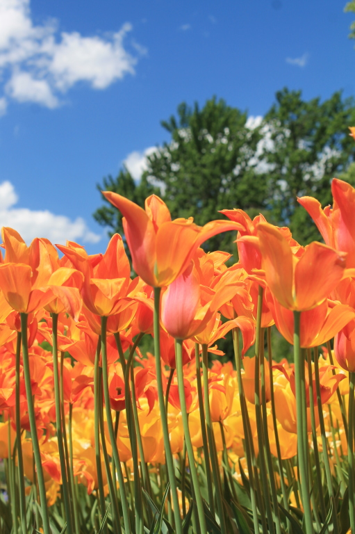 Photo: Blue Skies and Brilliant Tulips