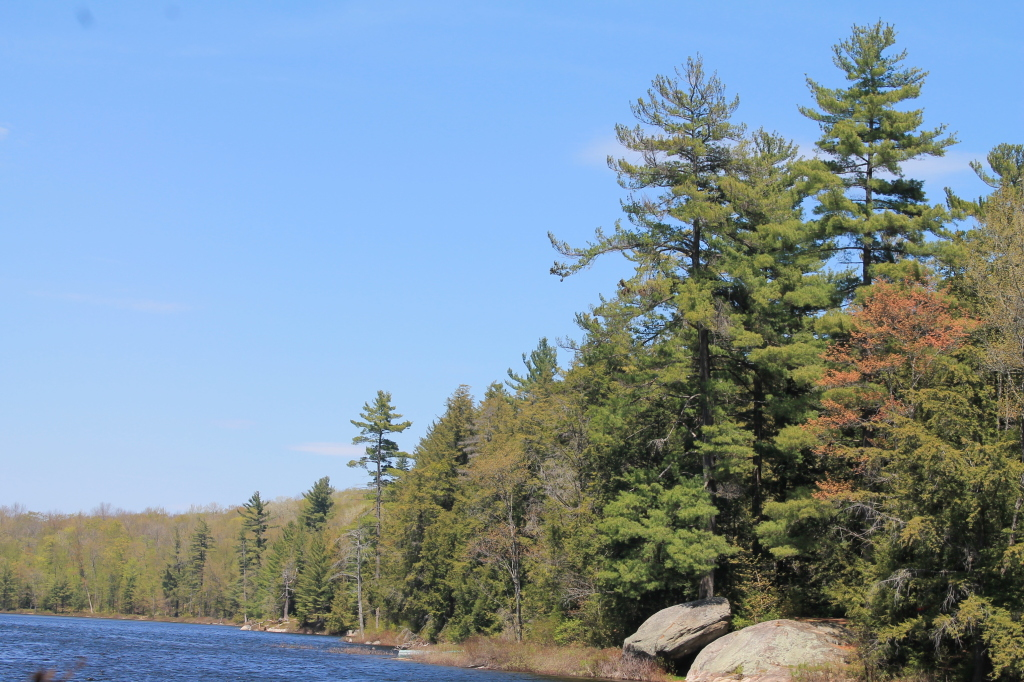 Photo: White Pines Along the Lake