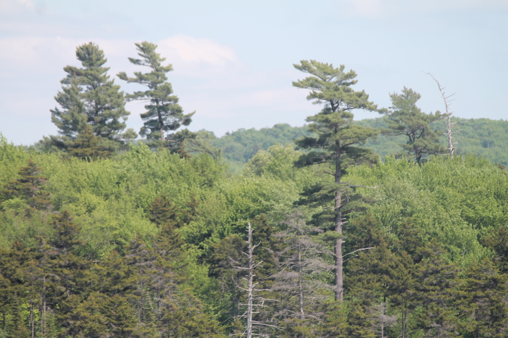 Photo: Some Tall White Pines