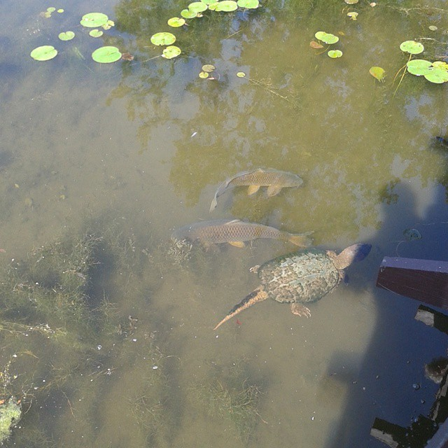 Photo: Turtle swims by carp