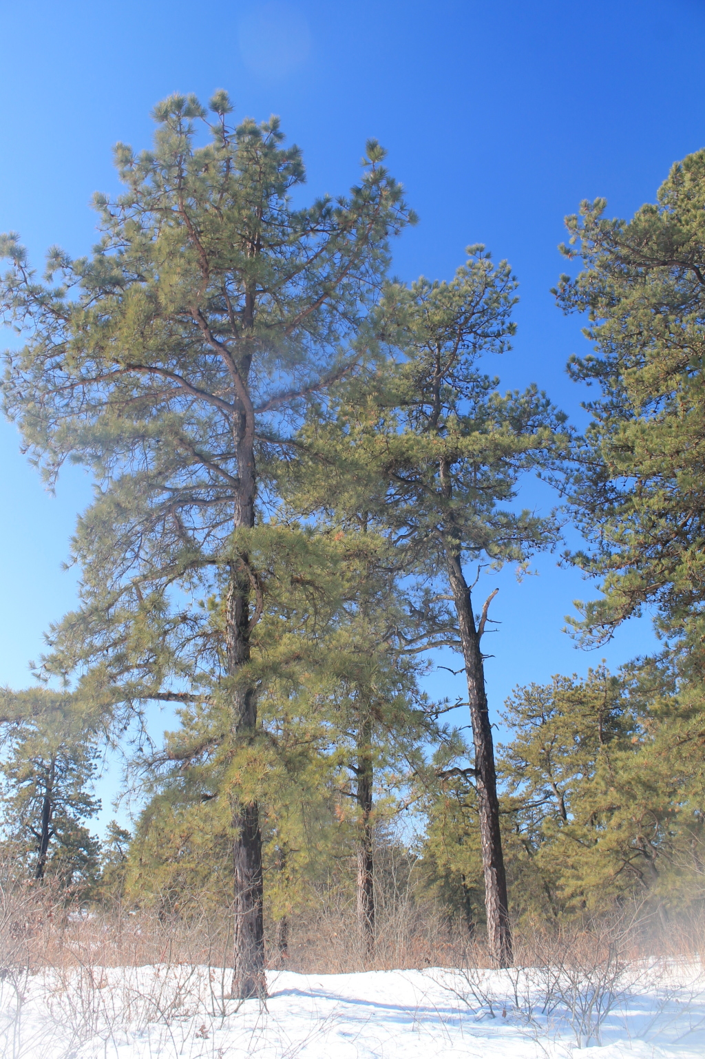 Photo: Pitch Pine