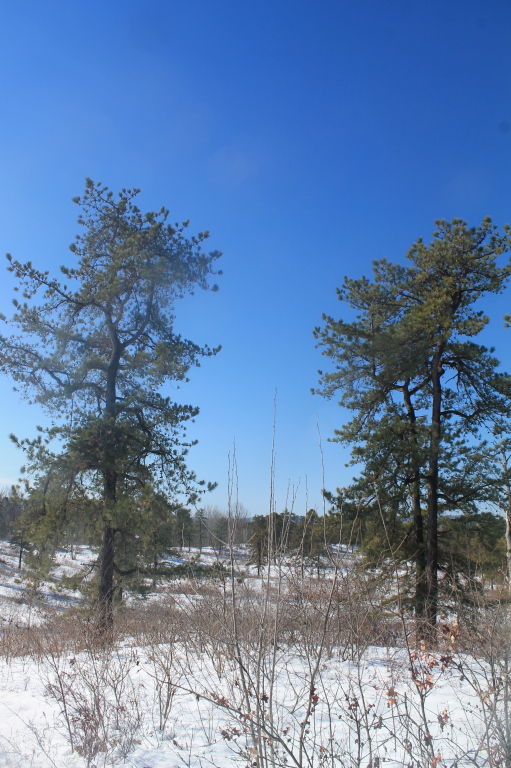 Photo: Two Pitch Pines