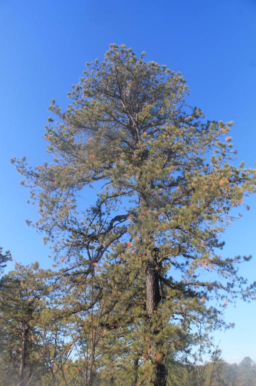 Photo: Another Pitch Pine