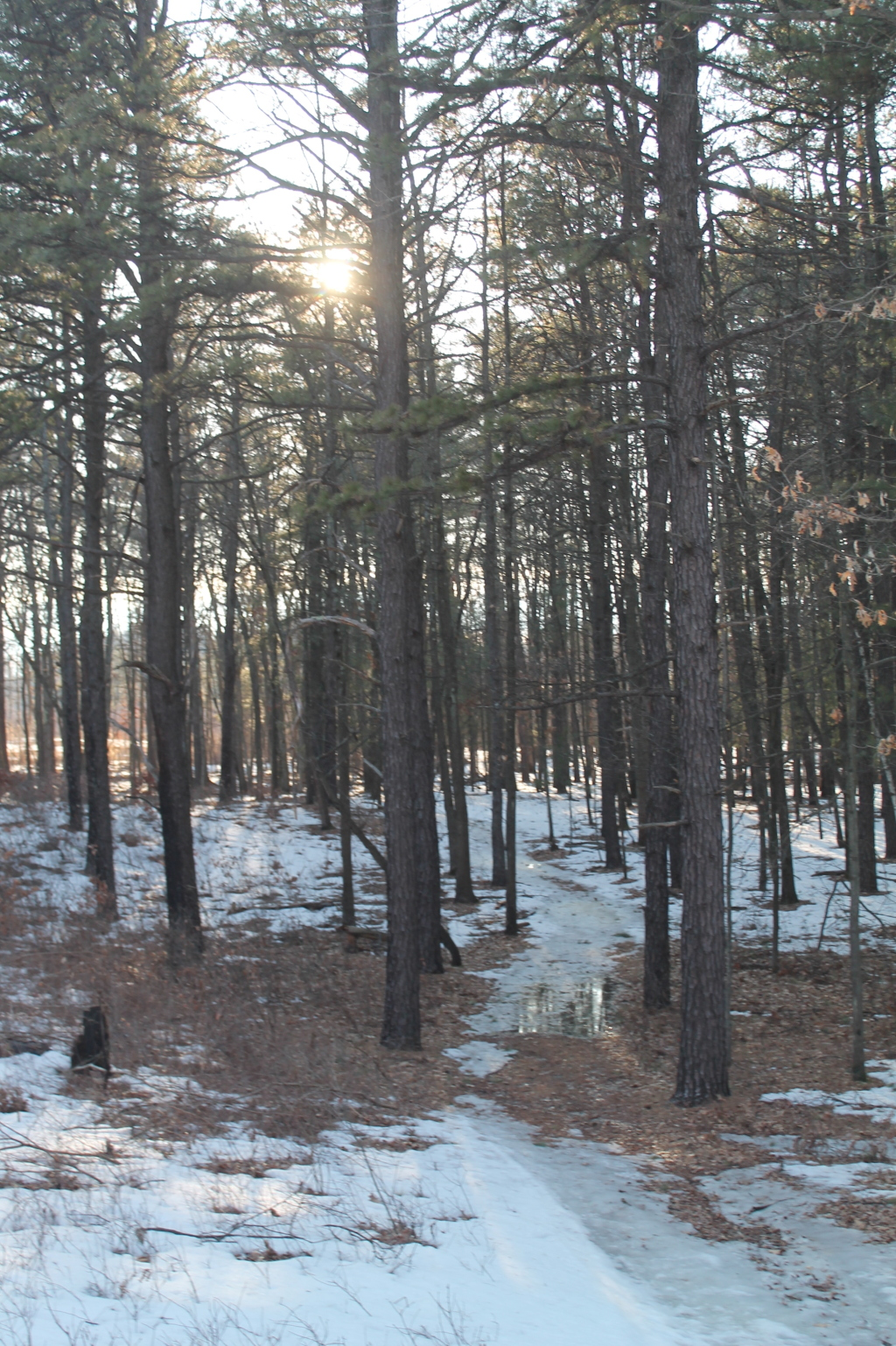 Photo: Sun thru White Pine