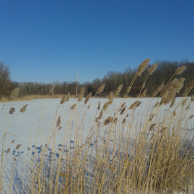 Photo: Cattails along the pond