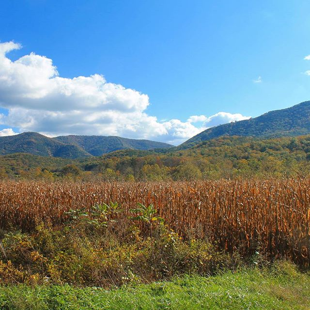 Photo: Cornfield in the Sweedlin Valley