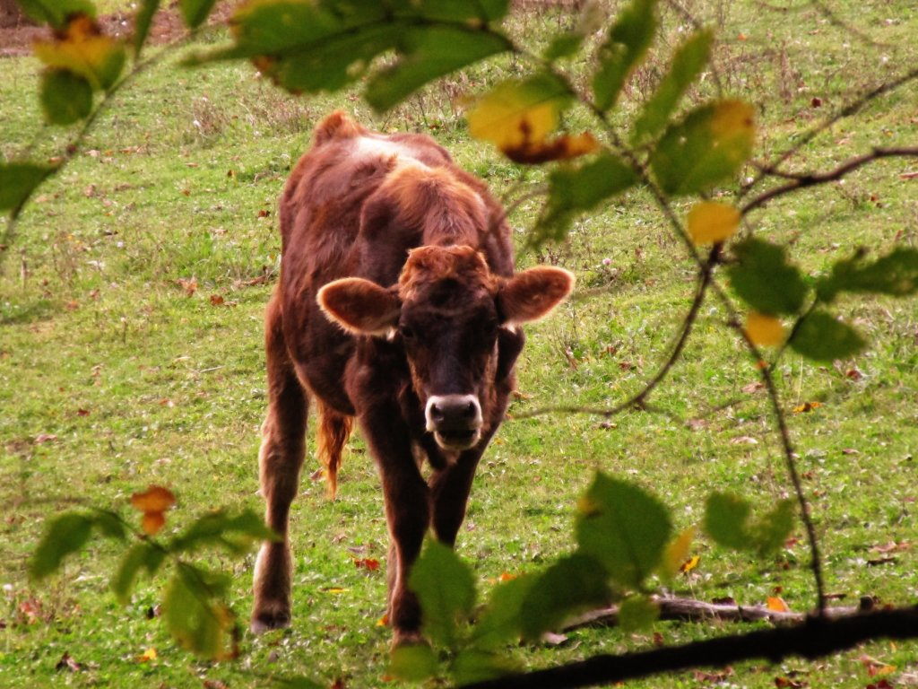 Photo: Raggedy Old Steer