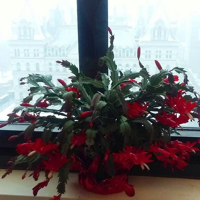 Photo: December 12, 2017 Christmas Cactus Update