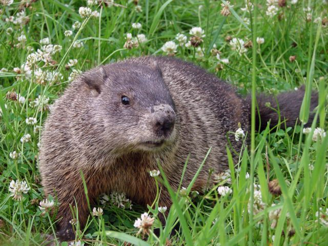 how to get rid of groundhogs under shed