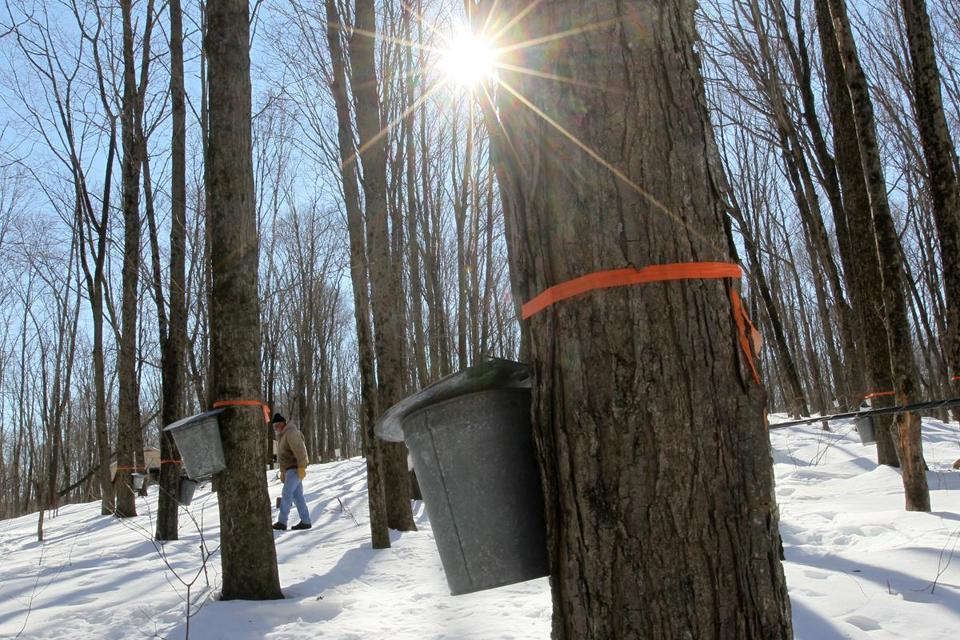 Traditional harvesting of maple sugar from forests may give way to tree farms