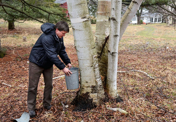 Move over maple syrup: Researchers in Syracuse are tapping walnut trees (and a birch)