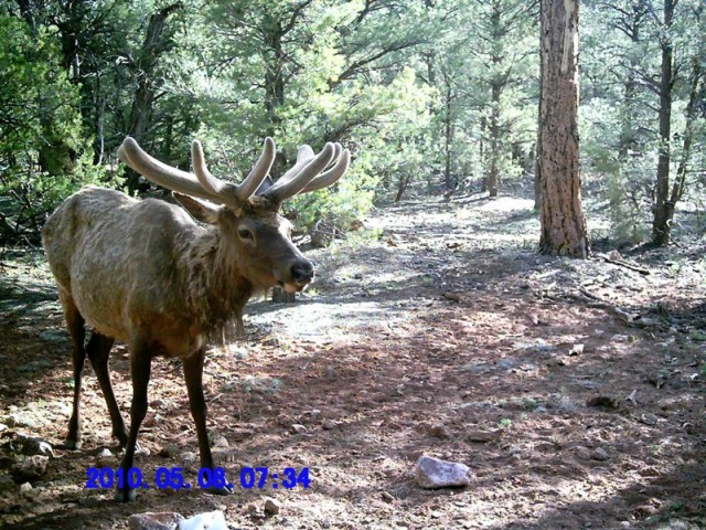 The Miracle of Antler Growth – Elk101.com