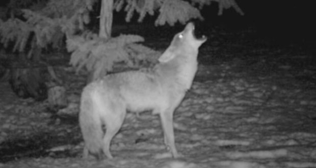 Coyote Howls Are Terrifying Up Close