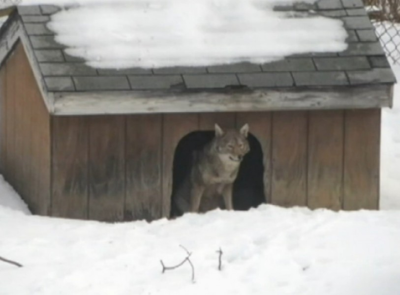 Coyotes Take Over Doghouse, Pester Homeowner with Howls